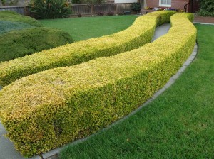 Hedges_and_lawn_Santa_Clara_California
